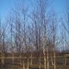 Featured Plant: Betula nigra 'Cully' (Heritage® River Birch)