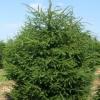 Fir, Pine & Spruce