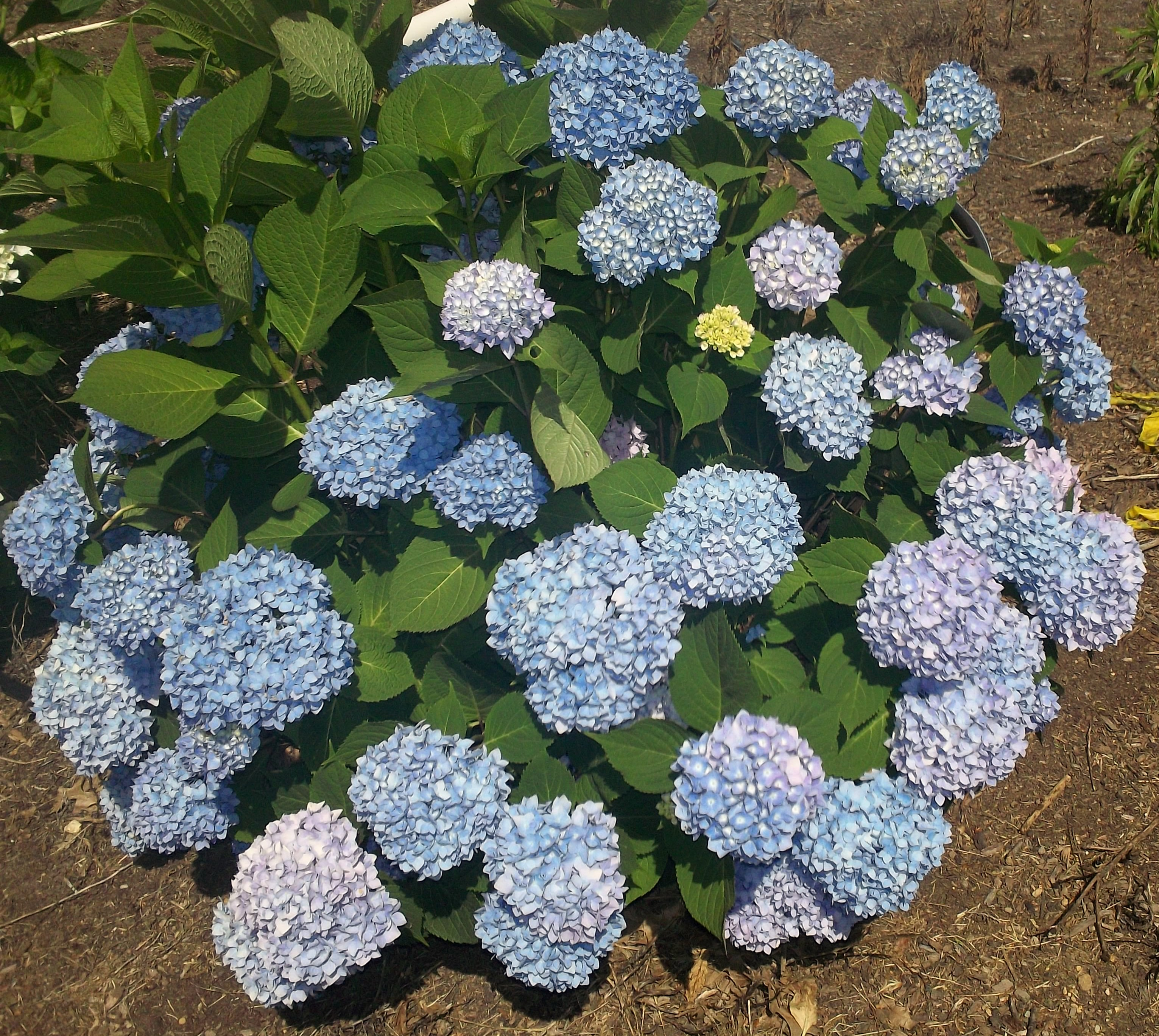 What color is your Hydrangea Endless Summer® - Angelica Nurseries, Inc.
