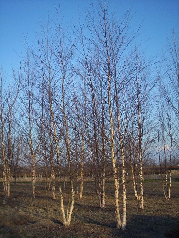 Featured Plant Betula Nigra Cully Heritage River Birch
