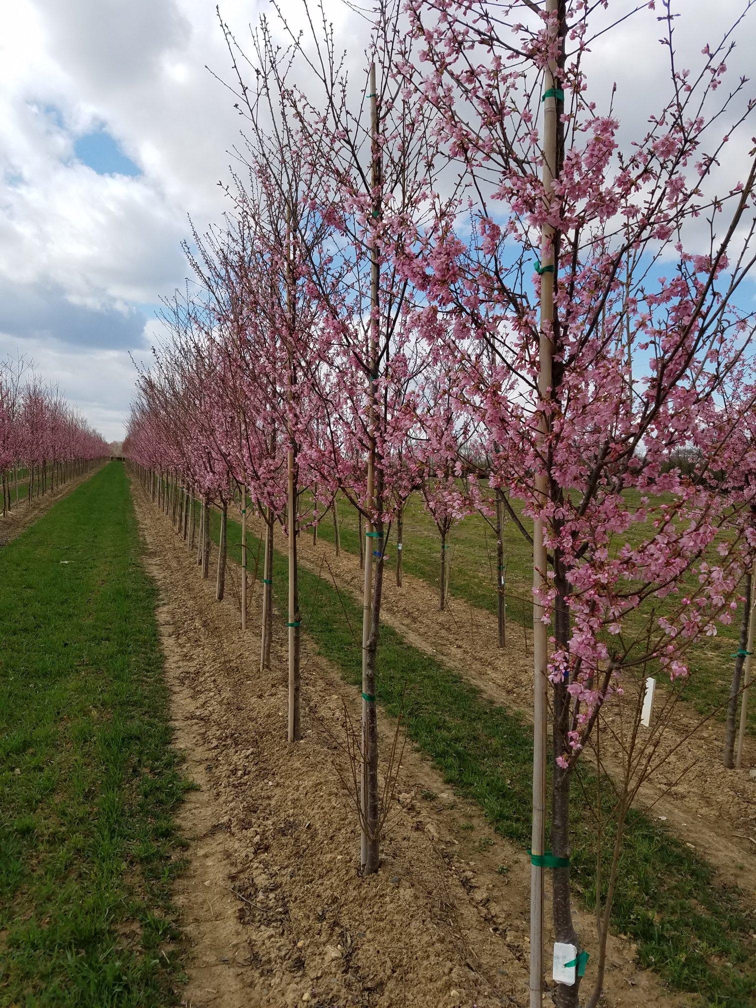 Prunus Okame Okame Cherry Angelica Nurseries Inc